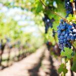 Ayudas para la reestructuración y reconversión de viñedos en Castilla y León